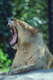 Lioness opening wide. A female lion bares her teeth while yawning royalty free stock photography
