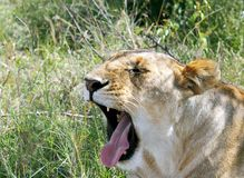 A lioness opening wide mouth Stock Photo
