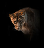 Lioness over a balck Stock Photo