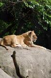 Lioness på rock Arkivfoto