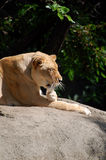 Lioness på stenblocket Royaltyfri Fotografi
