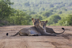 Lioness pair front view symmetrical Royalty Free Stock Photography