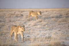 Lioness pair stalking Royalty Free Stock Image