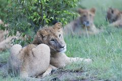 Lioness Panther , sitting under tree royalty free stock photos