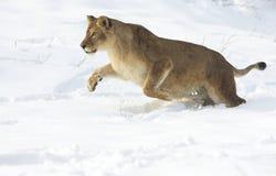 Lioness / Panthera leo Royalty Free Stock Photos
