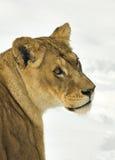 Lioness / Panthera leo Stock Photo