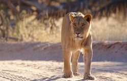 Lioness (panthera leo) Stock Photo
