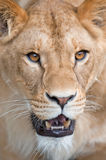 Lioness - (Panthera leo). Closeup portrait of a lioness Stock Photography