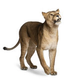 Lioness, Panthera leo, 3 years old, standing Stock Images