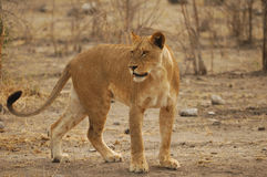 Lioness (Panthera leo) Royalty Free Stock Image