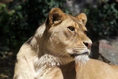 Lioness Panthera leo Royalty Free Stock Images