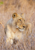Lioness (panthera leo) close-up Royalty Free Stock Image