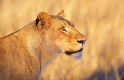 Lioness (panthera leo) close-up Royalty Free Stock Photography
