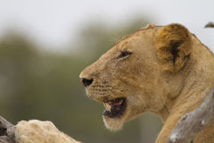 Lioness (Panthera leo) close-up. Side-profile Stock Image