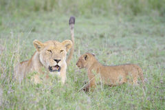 Lioness (Panthera leo) with cub Royalty Free Stock Photo