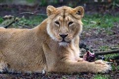 Lioness Panthera Leo Stock Photo