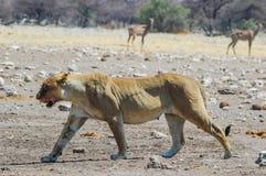 Lioness (Panthera leo) in the Etosha, Namibia. Lioness (Panthera leo) in the Etosha National Park, Namibia Royalty Free Stock Image