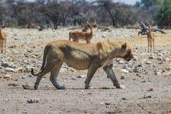 Lioness (Panthera leo) in the Etosha, Namibia. Lioness (Panthera leo) in the Etosha National Park, Namibia Royalty Free Stock Photography