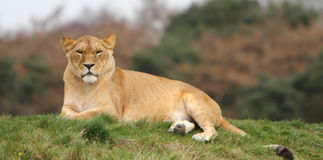 Lioness (Panthera Leo) Royalty Free Stock Images
