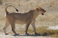 Lioness (Panthera leo). royalty free stock photos