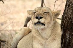 Lioness (Panthera leo) Stock Photos