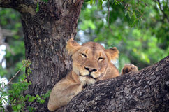 Lioness (Panthera leo krugerii) in tree Royalty Free Stock Images