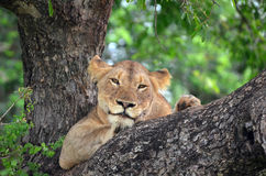 Lioness (Panthera leo krugerii) in tree Stock Images