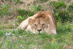 Lioness / panthera leo leo Stock Photos