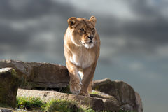 Lioness (Panthera Leo) Stock Photo