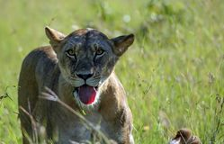 Lioness, Panthera leo , looking at camera, standing in green grass royalty free stock photos