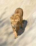 Lioness (Panthera leo persica) Royalty Free Stock Photos