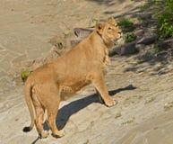 Lioness (Panthera leo persica) Stock Photos