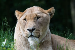 Lioness Panthera Leo Royalty Free Stock Photos