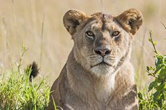 Lioness (Panthera Leo). Portrait of a lioness in the savannah in Massai Mara, Kenya. Scientific name: Panthera Leo royalty free stock photo