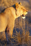 Lioness (panthera leo) in savannah Stock Images