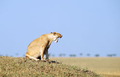 Lioness (panthera leo) in savannah Stock Photos