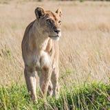Lioness (Panthera Leo). Lioness in the savannah in Massai Mara, Kenya. Scientific name: Panthera Leo royalty free stock images