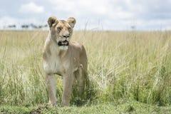 Lioness on savannah. Lioness Panthera leo standing in savannah, Masai Mara, Kenya stock image