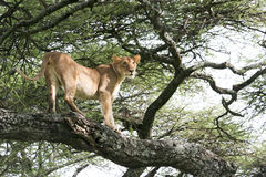 Lioness (Panthera leo) on a tree Stock Photography