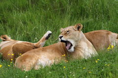 Lioness (panthera leo) Royalty Free Stock Photos