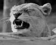 Lioness Panthera Leo Stock Image