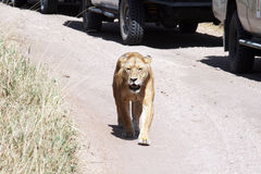 Lioness parade Royalty Free Stock Photo