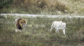 Lioness, park, lions, crimea, safari, belogorsk, taigang stock images