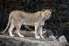 Lioness on the path 1 royalty free stock photo