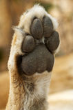 Lioness paw Royalty Free Stock Photos