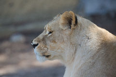 Lioness. This photo shows the upper body part of a lioness Stock Images