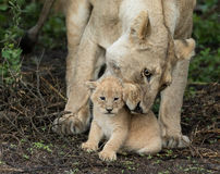 Lioness picks up her small cub, Tanznia Stock Photos