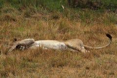 Lioness pigro Immagine Stock