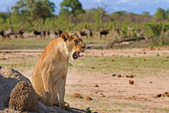 Lioness on the plains in Hwange with wildebeest in the distance Stock Photography