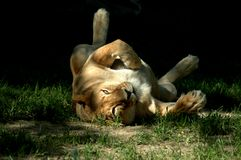 Lioness play. Friendly lioness  on back Stock Photo